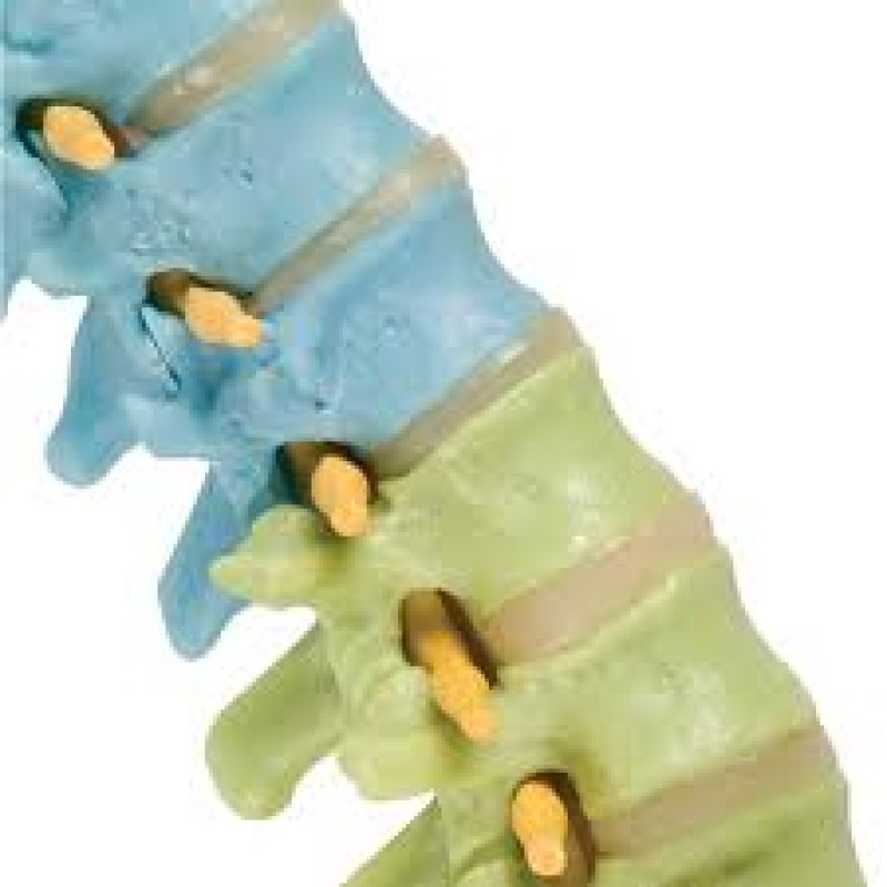 Didactic Flexible Spine-Colored