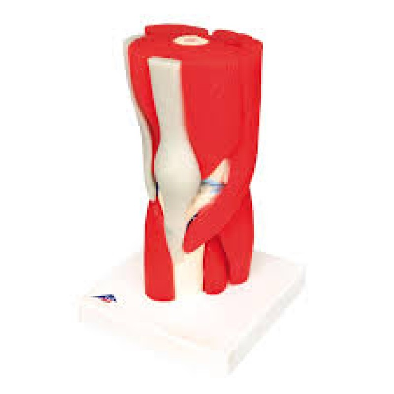 Knee Joint with Removable Muscles, 12 part