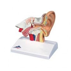 Desktop Ear Model-1.5 Times Life Size