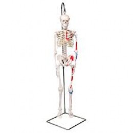 Mini Human Skeleton - Shorty - With painted muscles, on hanging stand